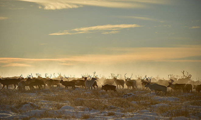 Reindeer calving season begins in Yamal