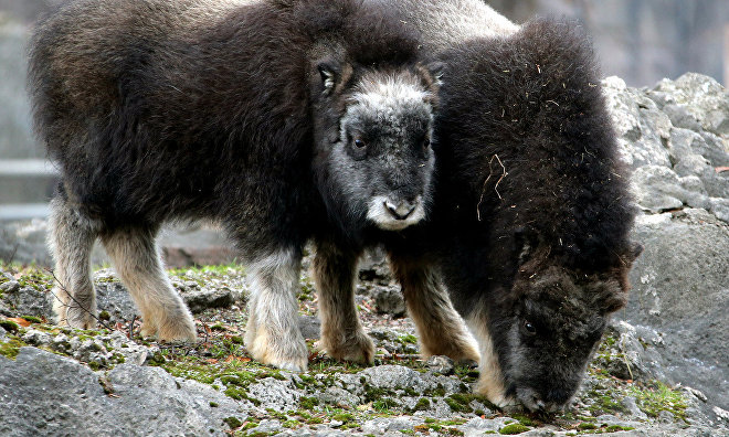 Yamal muskoxen to be brought to Yakutia in 2017