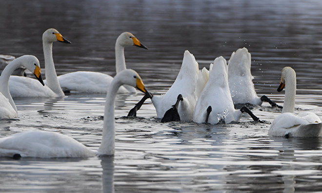 Swans are returning to Yamal following winter