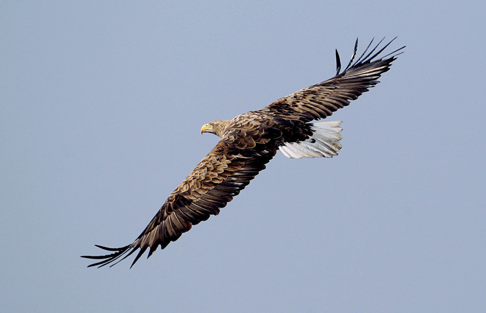 Counting rare birds of prey in Yamal