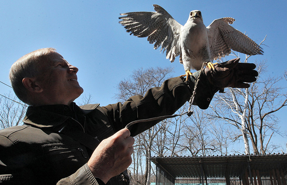 Gyrfalcon population continues to grow on Obskaya-Bovanenkovo Railway's bridges