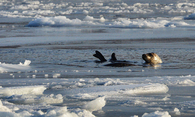 Seal population grows near Arctic Gate oil terminal