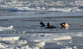 Seal population grows near Arctic Gate oil terminal