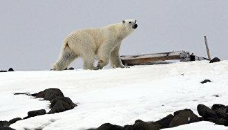 Белый медведь на одном из островов архипелага Земля Франца-Иосифа