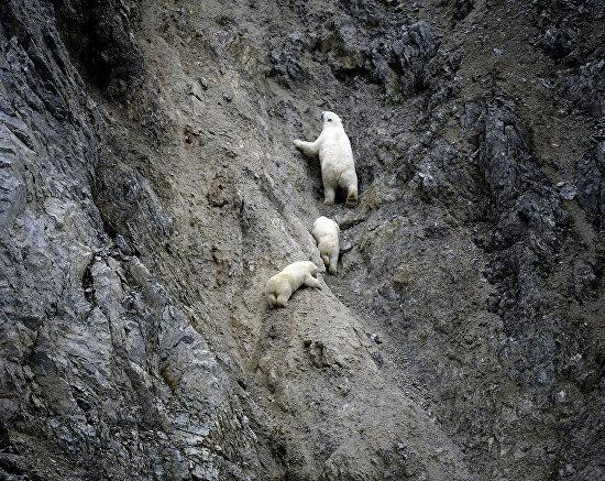 Белая медведица с медвежатами в бухте Драги на Острове Врангеля, Чукотский автономный округ