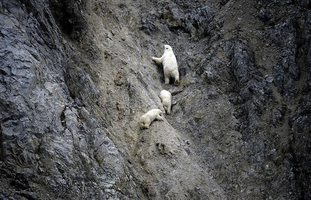 White bear with cubs in the Dragi Bay on Wrangel Island, Chukotka Autonomous Area
