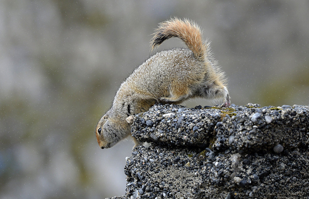 Arctic ground squirrel in Cape Dezhnev, the easternmost point of the Chukotka Peninsula (the easternmost point of continental Russia)