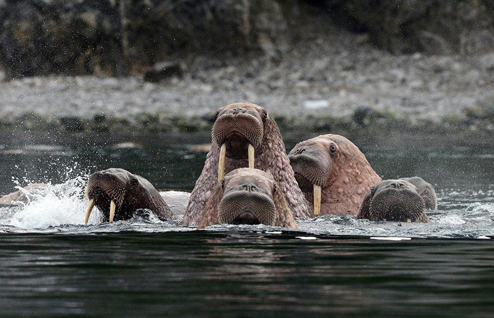 Walruses in the Senyavin Strait near Yttygran Island, Chukotka Autonomous Area