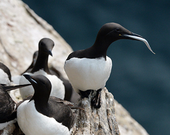 Thick-billed murres in a bird colony on Kolyuchin Island, Chukotka Autonomous Area