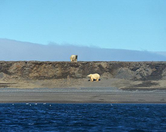 Белые медведи на мысе Блоссом на Острове Врангеля, Чукотский автономный округ