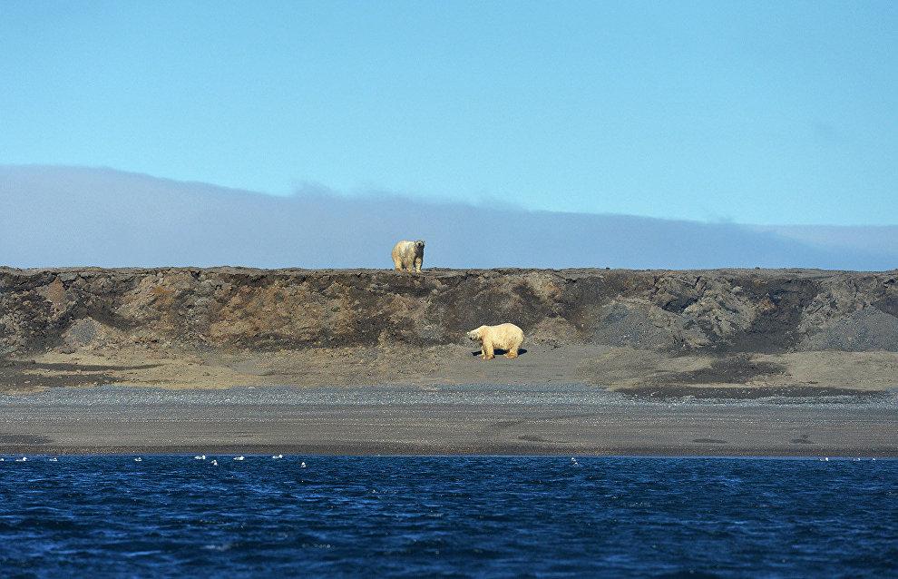 Polar bears in Cape Blossom on Wrangel Island, Chukotka Autonomous Area