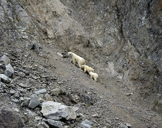 Polar bears in the Dragi Bay on Wrangel Island, Chukotka Autonomous Area