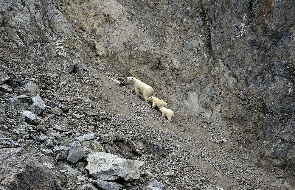 Polar bears in the Dragi Bay on Wrangel Island, Chukotka Autonomous Area