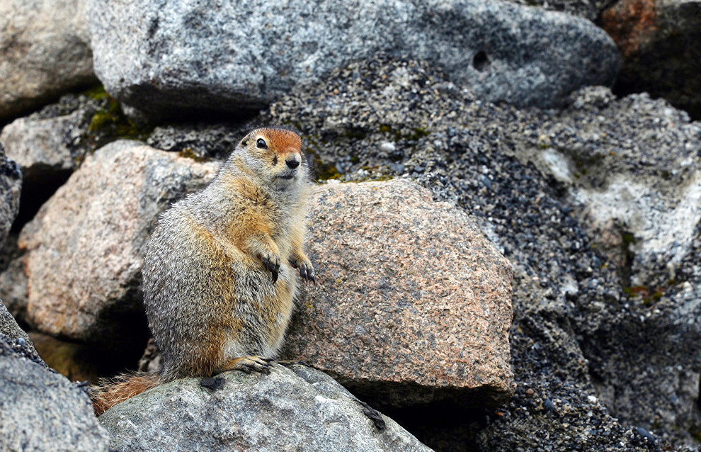 Arctic ground squirrel in Cape Dezhnev, the easternmost point of Chukotka Peninsula (the easternmost continental point of Russia)