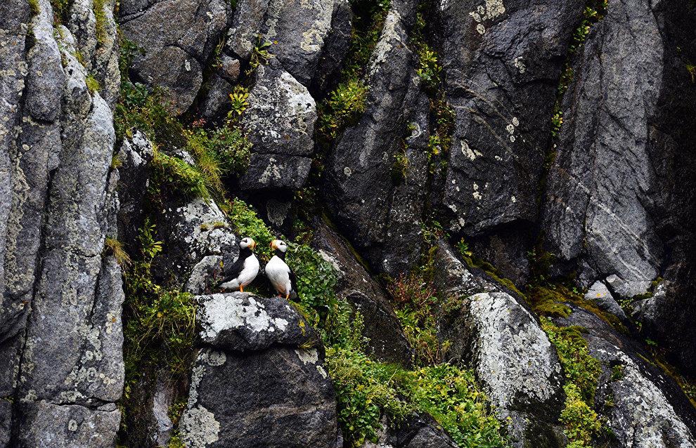 Horned puffins, Chukotka Autonomous Area