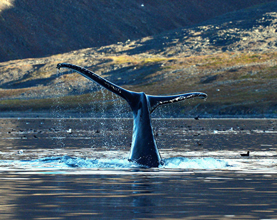 Whales in the Senyavin Strait, Bering Sea, Chukotka Autonomous Area