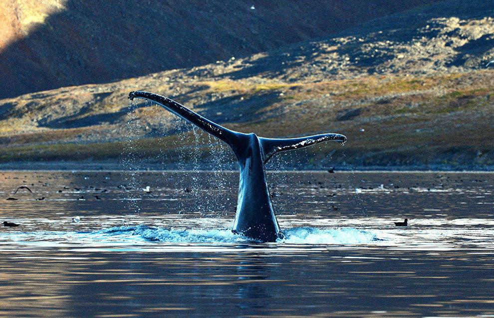 Whales in the Senyavin Strait, Bering Sea, Chukotka Autonomous Area