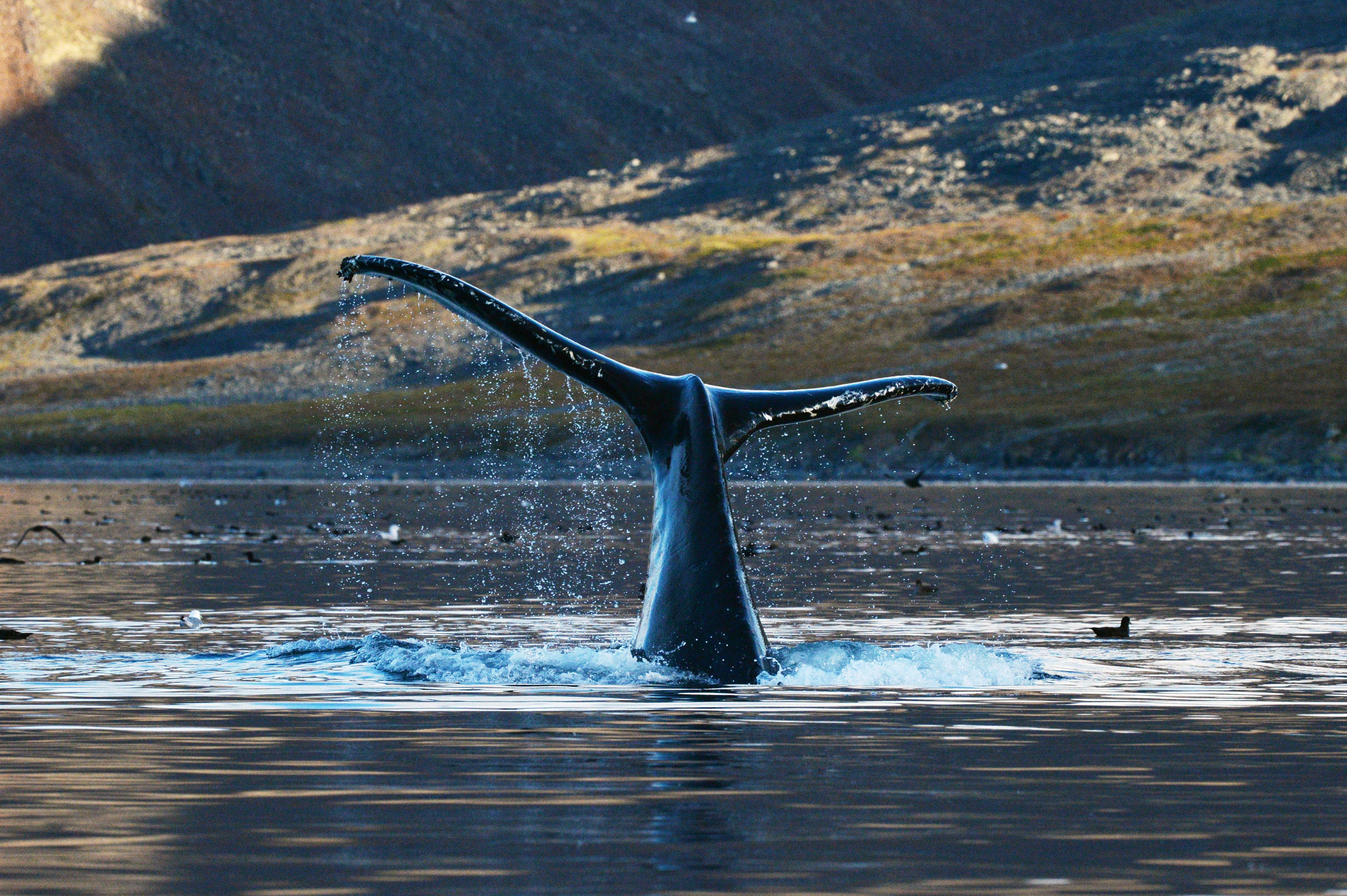 Gray whale in the Senyavin Strait near Yttygran Island in the Chukotka Autonomous Area