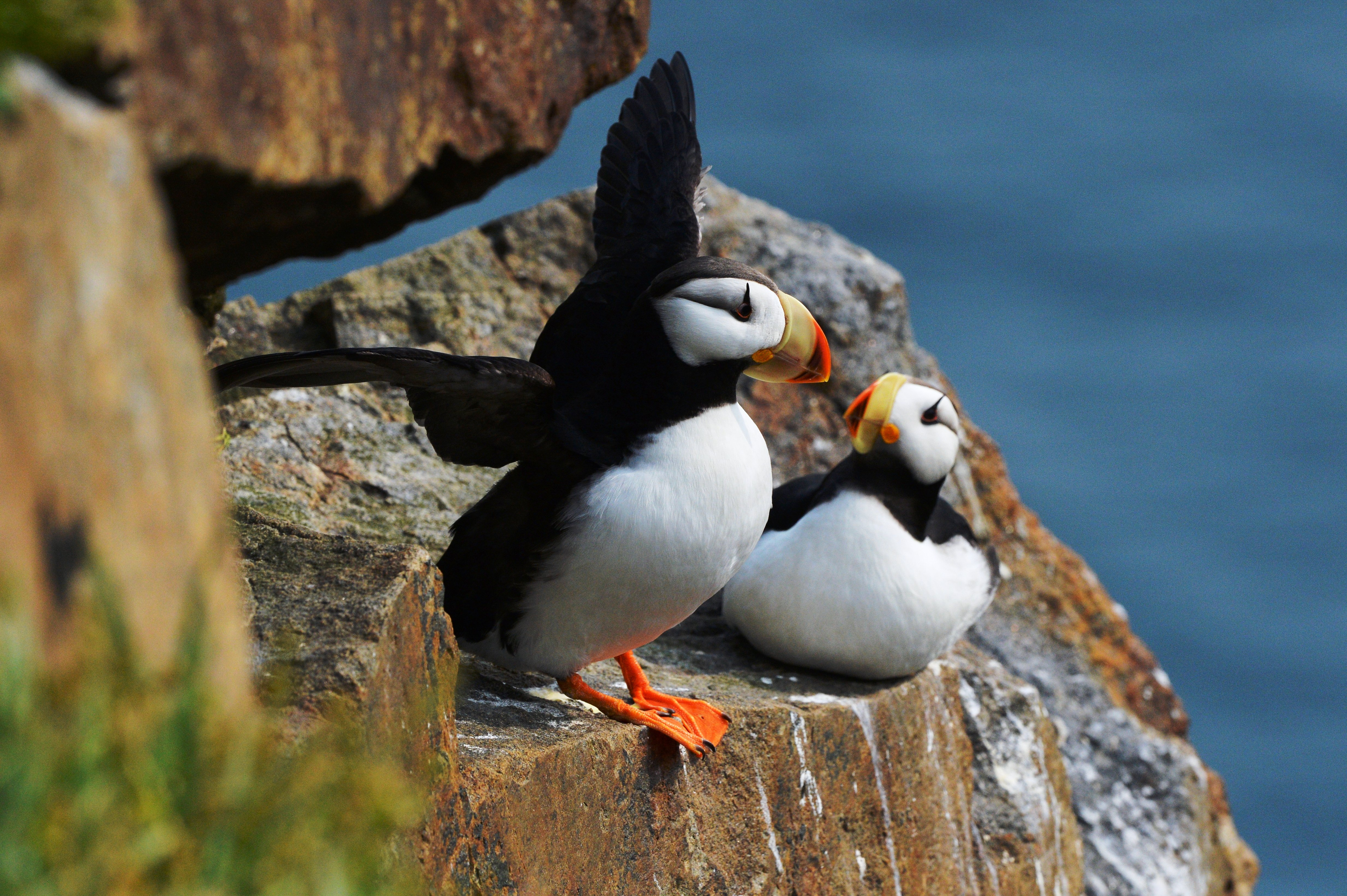Horned puffin in a bird colony on Kolyuchin Island in the Chukotka Autonomous Area