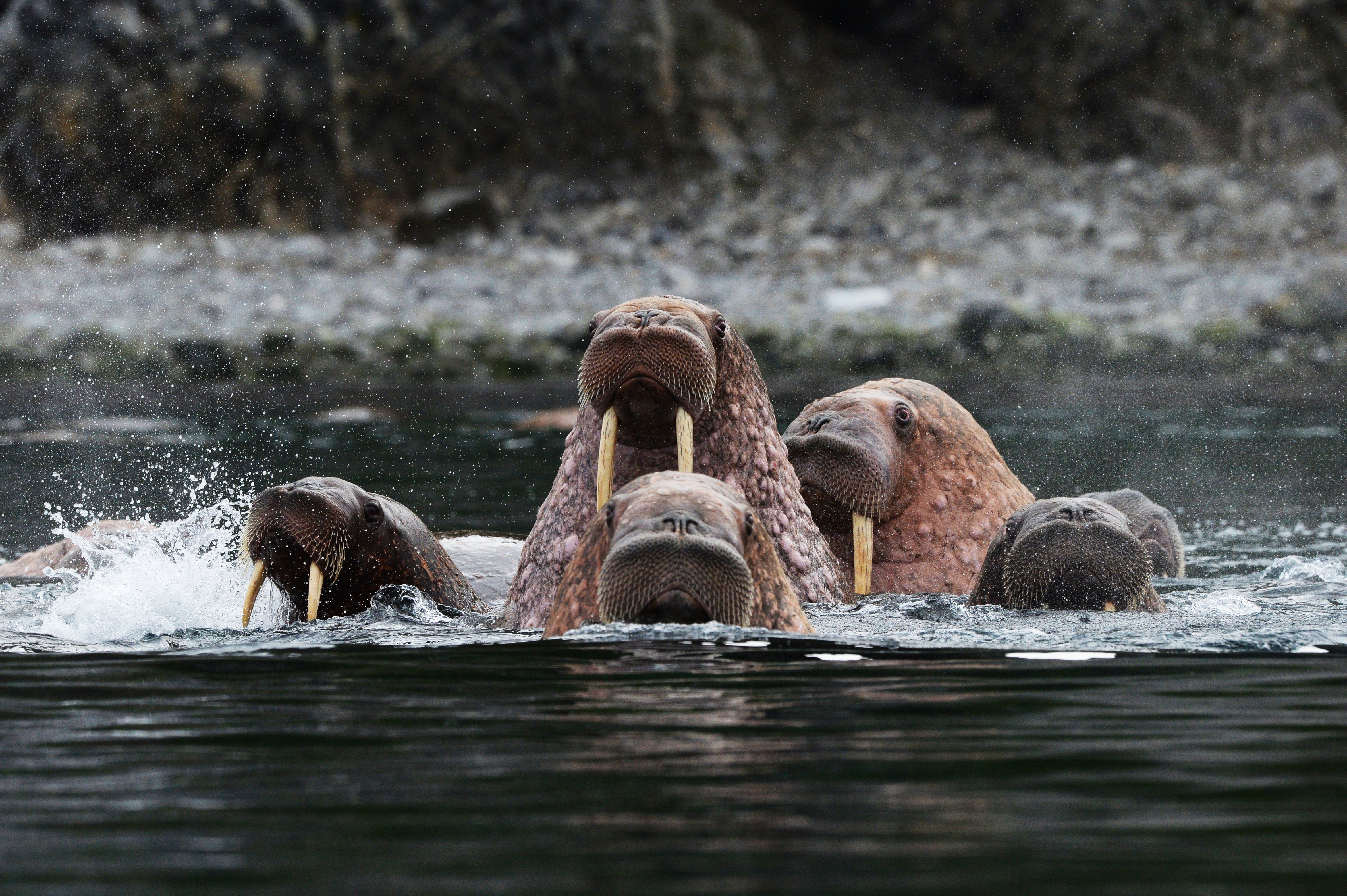 Walruses in the Senyavin Strait near Yttygran Island in the Chukotka Autonomous Area