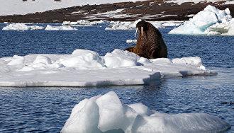 Gavrilo: Walrus population at Franz Josef Land reached pre-hunt level