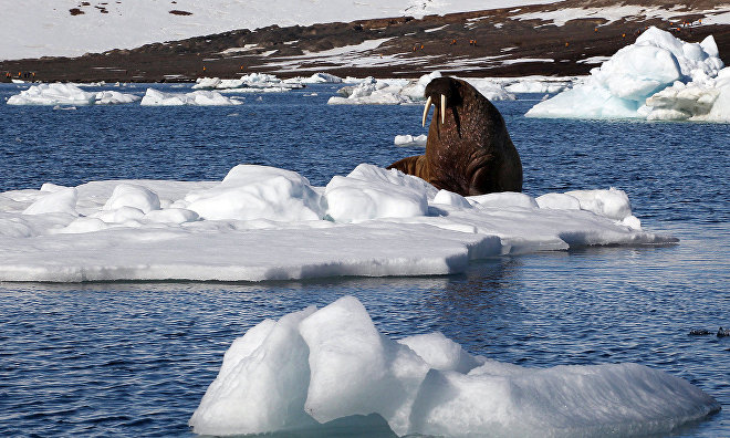 Gavrilo: Walrus population at Franz Josef Land reached pre-hunt level