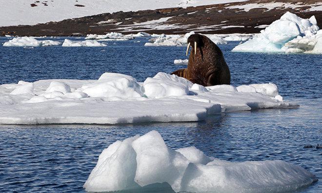 Гаврило: Популяция моржей на ЗФИ достигла предпромысловой численности