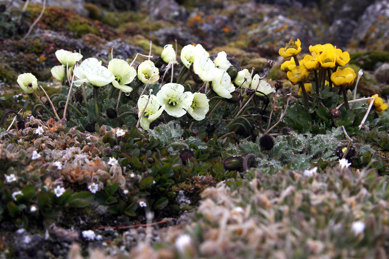 Arctic poppies, left, and buttercups on an island of the Franz Josef Land Archipelago
