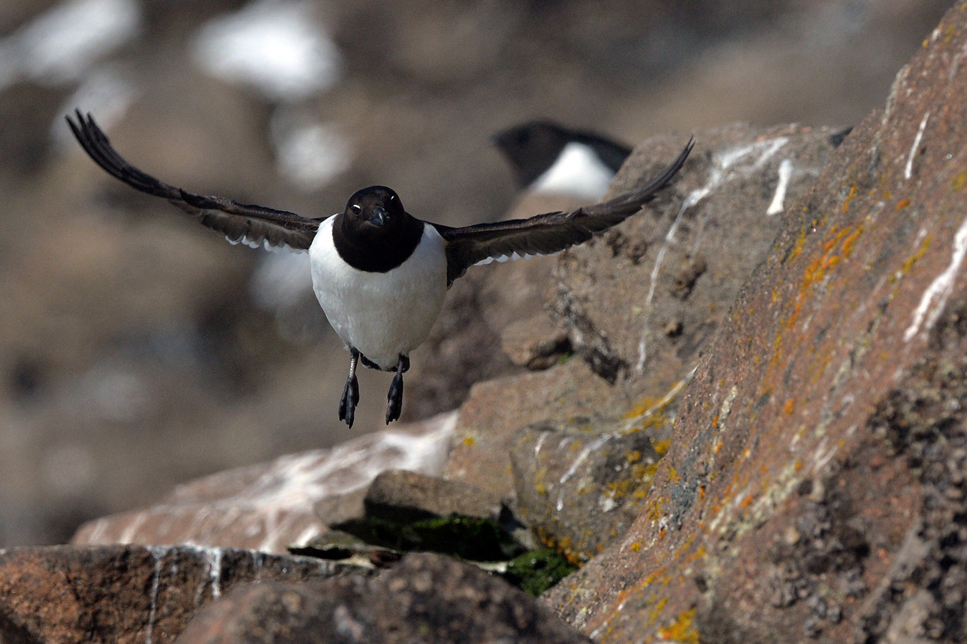 A little auk on an island of the Franz Josef Land Archipelago
