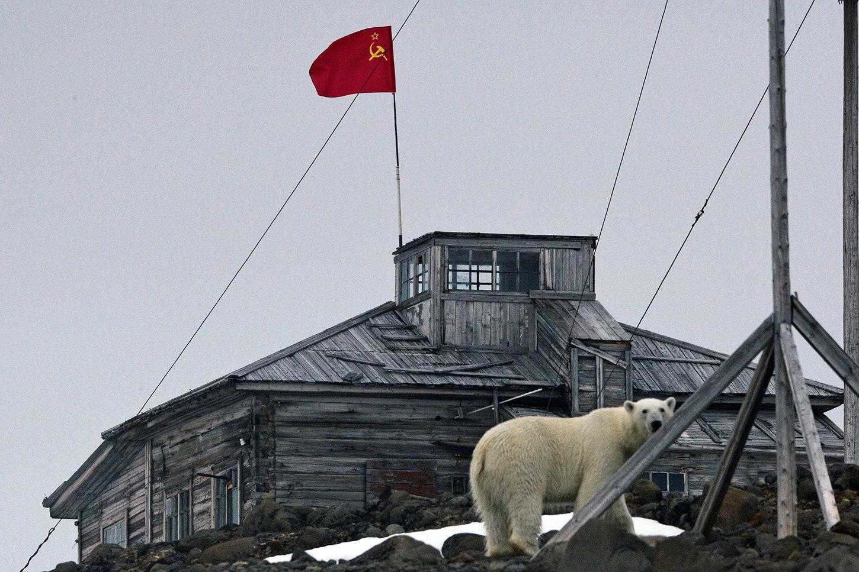A polar bear at the polar station on Hooker Island at the Franz Josef Land Archipelago