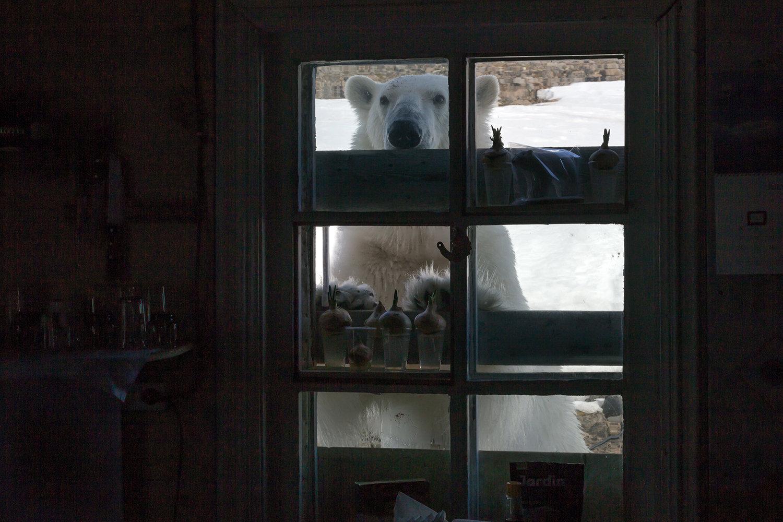 A polar bear at the polar station on the shore of Tikhaya Bay on Hooker Island at the Franz Josef Land Archipelago