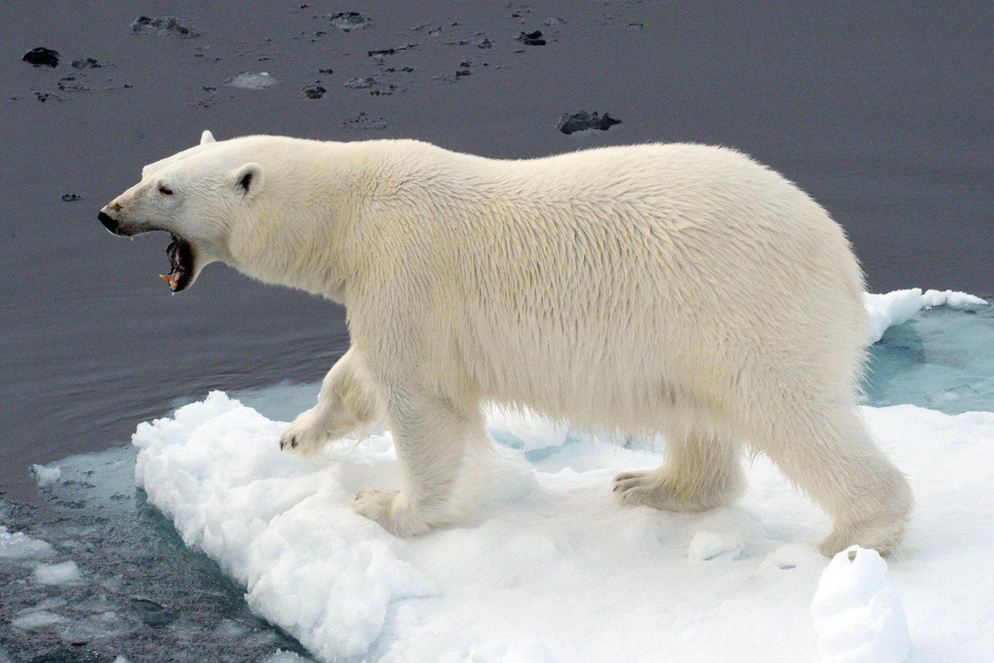 A polar bear on an ice flow in the Arctic Ocean