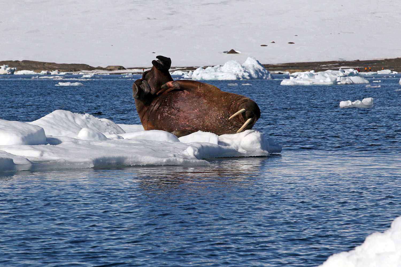 A walrus on an ice floe near an island at the Franz Josef Land Archipelago