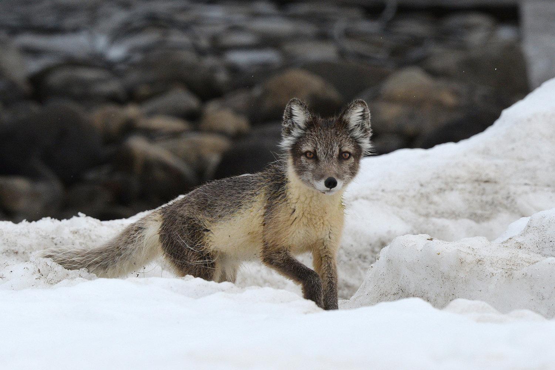 An Arctic fox on an island of the Franz Josef Land Archipelago