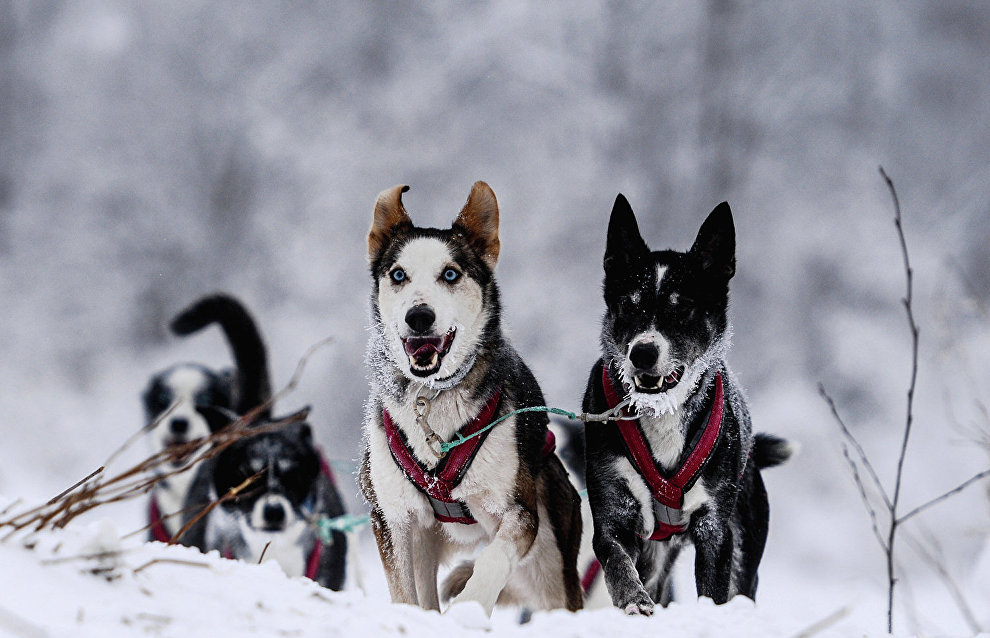 Arctic dog sled tours offered in Russia's Yakutia