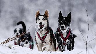 В Якутии разработали туры на собачьих упряжках по Арктике