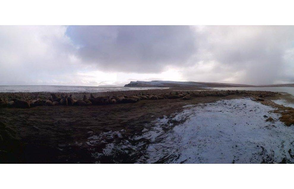 Keniskun Bay, the world's largest walrus rookery