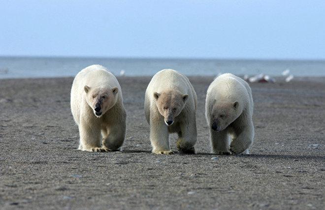 Среди вежливых медведей