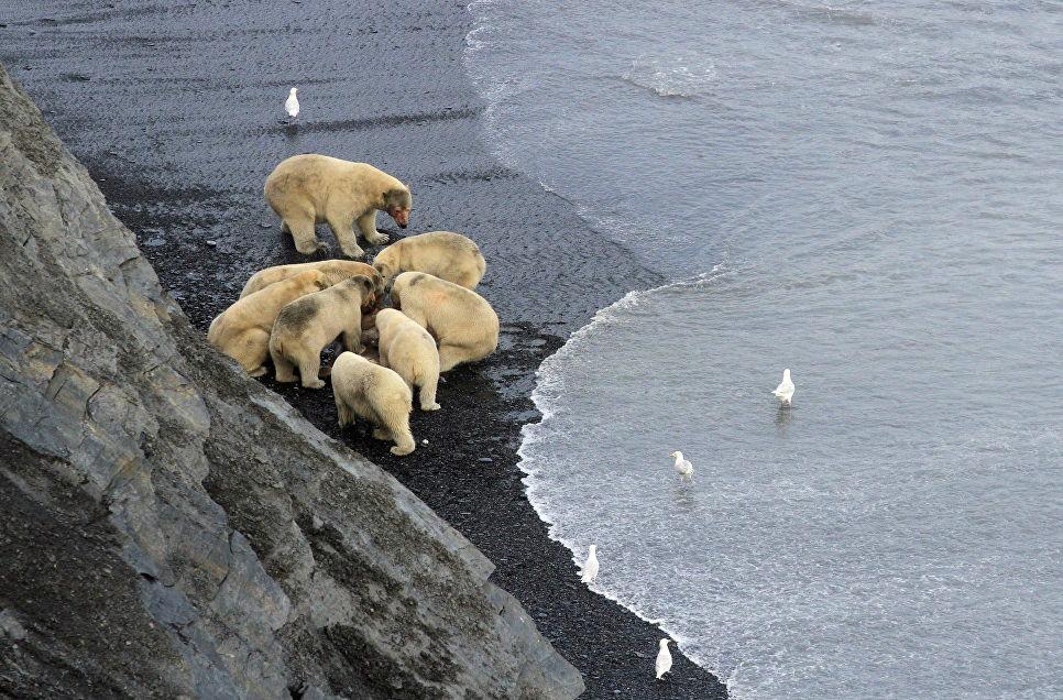 Медведи совместно кормятся на туше моржа