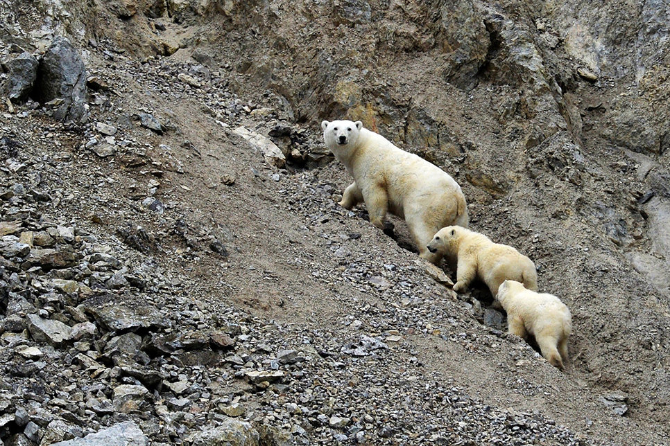 A female polar bear with her cubs in Dragi Bay on Wrangel Island in the Chukotka Autonomous Area