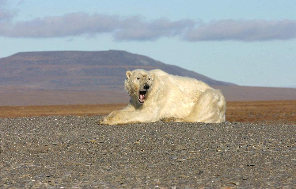 Взрослый самец на берегу в ожидании льда. Чукотксий автономный округ