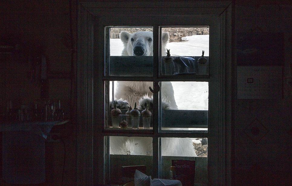 Белый медведь на территории полярной станции на острове Гукера архипелага Земля Франца-Иосифа