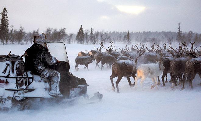 Yakutsk set to establish reindeer breeders' training center