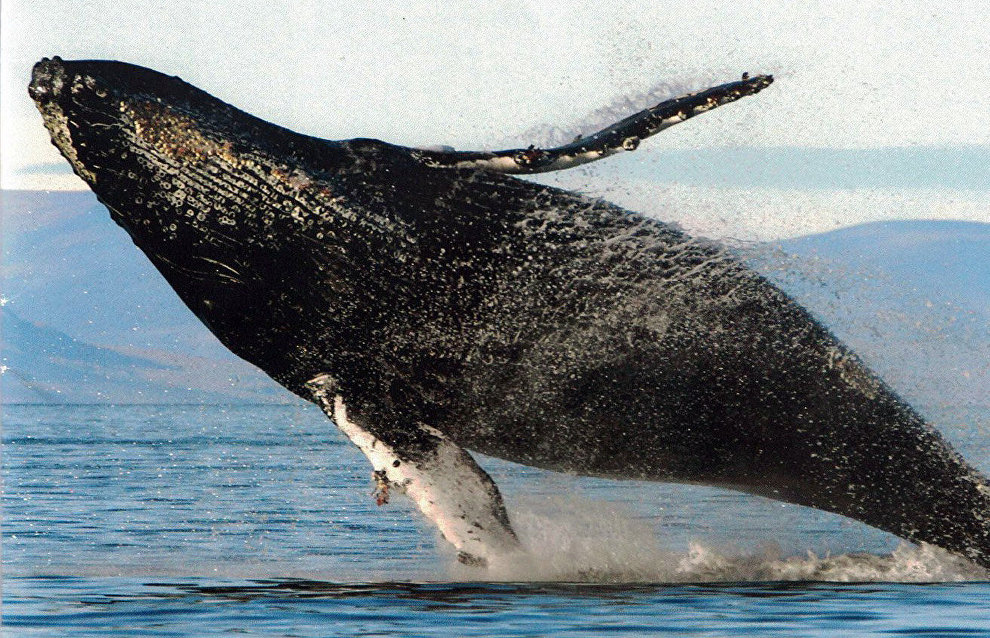 Photographic catalogue of humpback whales compiled in Chukotka