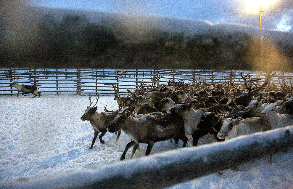 Домашних оленей ЯНАО защитили от их диких собратьев