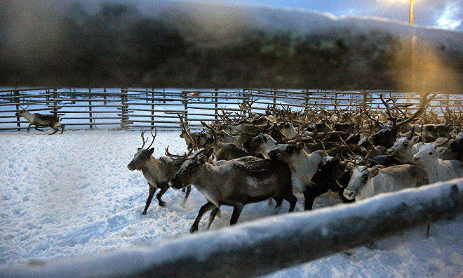 Protecting domesticated Yamal reindeer from their wild 'relatives'