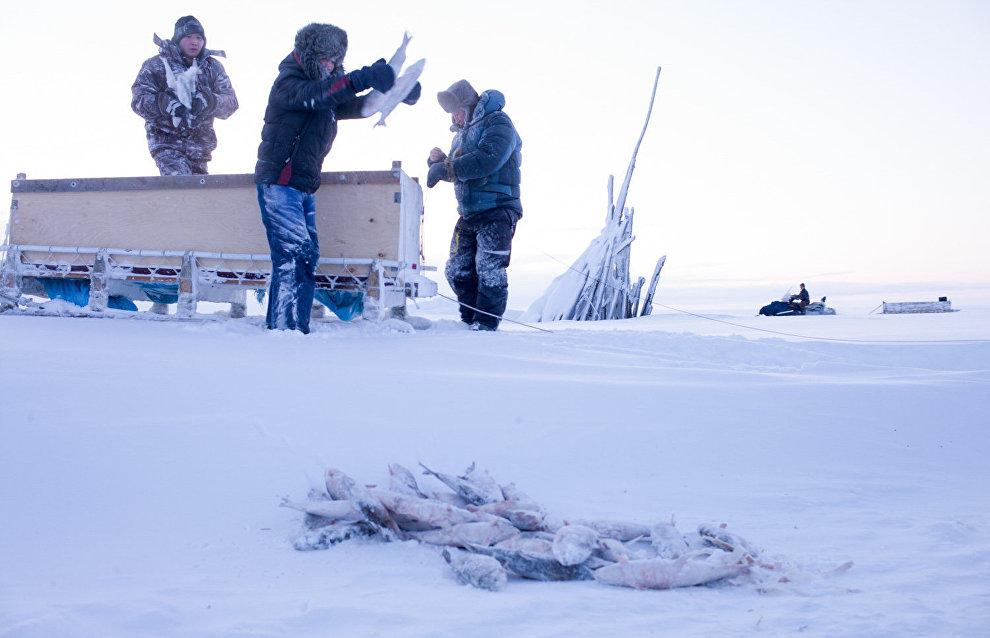 Sometimes fishermen make maksa from burbot: the frozen burbot liver is similar to cod liver