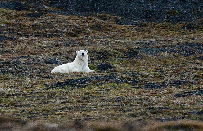 Scientists to use drones for Chukotka polar bear study