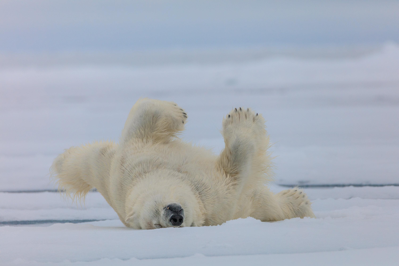 Белый медведь после купания, Земля Франца-Иосифа, национальный парк «Русская Арктика»