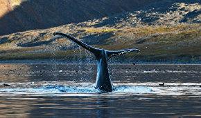 На Чукотке изучат, как горбатые киты реагируют на судовой шум